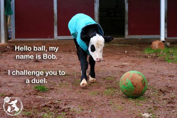 Bob The Calf